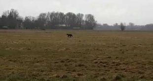 Wolf gesignaleerd bij Zwolle