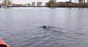 Dierenambulance: zeehond gespot in Zwolle
