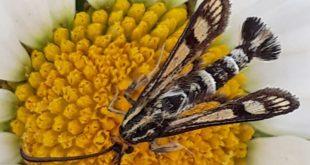 Zeer zeldzame vlinder waargenomen in Zwolle